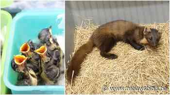 """Recordaantal jonge diertjes binnengebracht door fenomeen van coronawandelaars: """"Ongezien"""""""