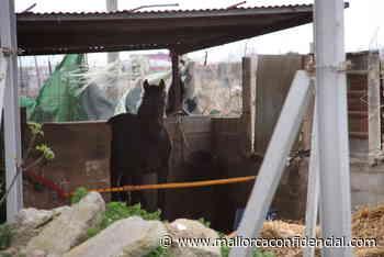 Vuelven a denunciar el estado de los caballos de las galeras en Palma - Mallorca Confidencial