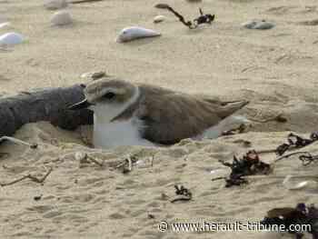 AGDE - Déconfinement : les oiseaux du littoral en danger - Hérault-Tribune