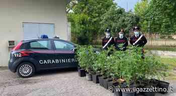 Piantagione di cannabis in cortile, i carabinieri arrestano 34enne di Adria - Il Gazzettino