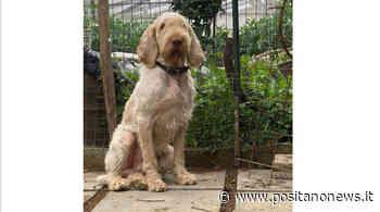 Una bella notizia da Massa Lubrense. È tornato a casa Tito, il cane spinone smarrito stamattina - Positanonews