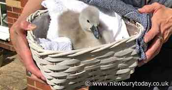 Swan plucked from the River Lambourn near Newbury is on the road to recovery - Newbury Weekly News Group