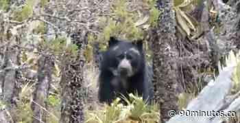 En video: avistan oso andino en Páramo las Domínguez, Pan de Azúcar y Valle Bonito - 90 Minutos
