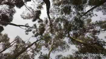 En cuarentena y de noche: le robaron una carga completa de eucaliptus - Vía País