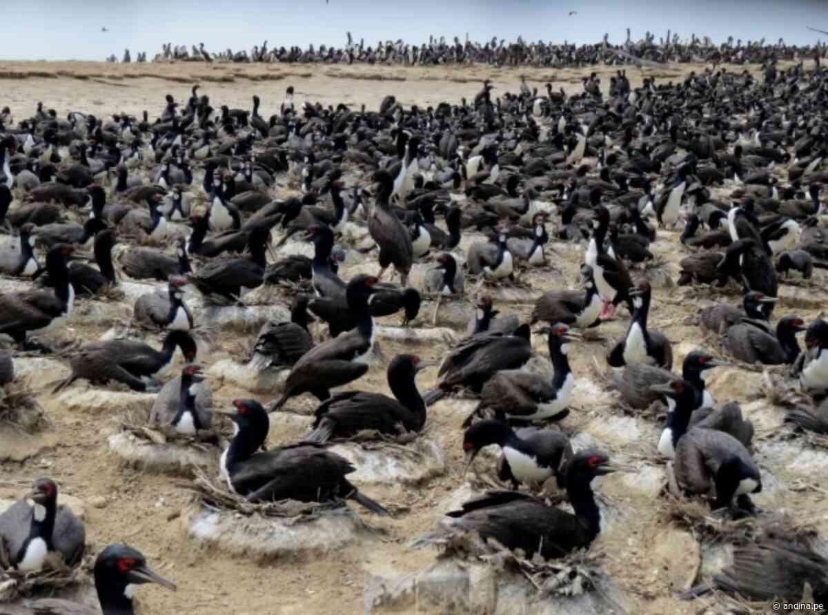 Huarmey: descubren más de 400 aves marinas muertas presuntamente para consumo humano - Agencia Andina