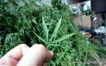 Tarnos: 1,6 kilo d'herbe de cannabis retrouvé à son domicile - Sud Ouest