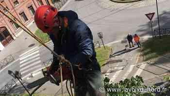 Avesnes-sur-Helpe: un tilleul de 250 ans abattu en urgence à la Rotonde - La Voix du Nord