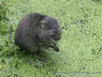 The race to save water voles in the North York Moors National Park - Yorkshire Post