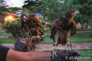 Conheça Cratos e Athena, o casal de gaviões 'contratado' para caçar pombos e conter infestação em RO - G1