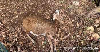 Eppstein: Mufflon-Muttertiere von frei laufenden Hunden gerissen - Main-Spitze