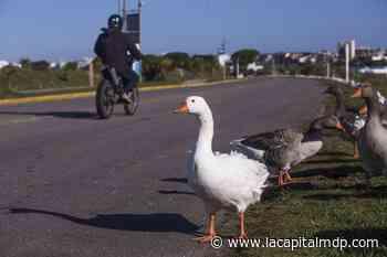 Invasión de distintos tipos de aves en la laguna de Punta Mogotes - La Capital de Mar del Plata