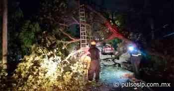 Cae enorme árbol en la colonia La Pimienta de Ciudad Valles - Pulso Diario de San Luis