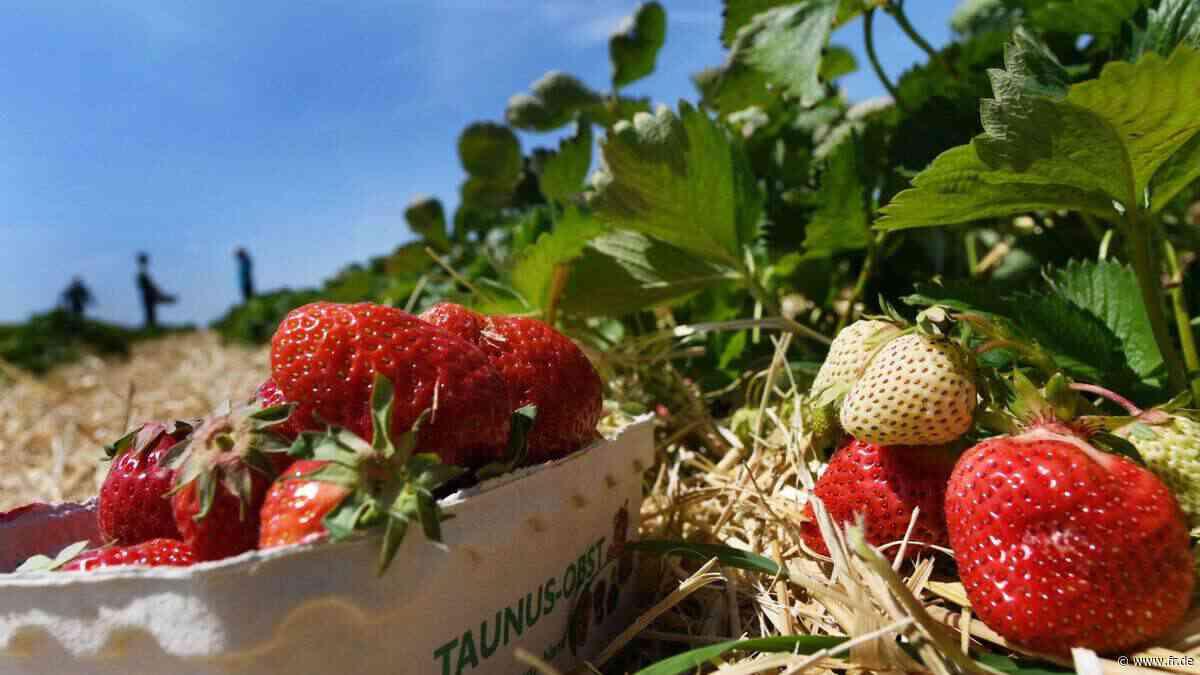 Erdbeerbauern im Main-Taunus ringen mit der Bürokratie | Kriftel - fr.de
