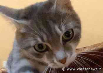 Cerco il mio gatto smarrito a Venegono Superiore - VareseNews - Varesenews