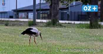 Neuer Bewohner in Bad Doberan? Storch sucht Nahrung an der B 105 - Ostsee Zeitung
