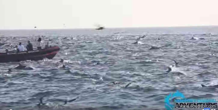 Mega pod of more than 1,000 dolphins stampede off Laguna Beach's coast