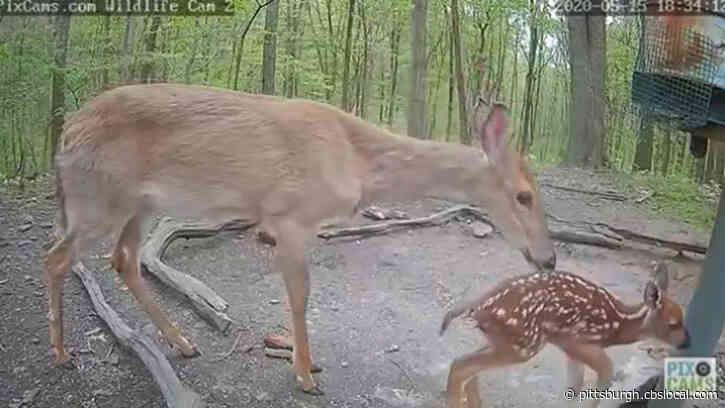 Newborn Fawn Takes Its First Steps On Pennsylvania Wildlife Camera