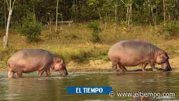 ¿En qué va caso del campesino atacado por un hipopótamo en Antioquia? - El Tiempo