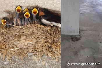 Strage di nidi di rondine a Sirmione: abbattuti a decine, distrutte le uova - greenMe.it