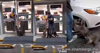 VIDEO: Mapaches esperan afuera de un Oxxo en Puerto Vallarta, Jalisco, para que les den de comer - SinEmbargo