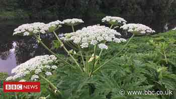 'Nasty' Giant Hogweed thrives as lockdown cuts treatment