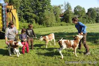 Kälberdrillinge in Eschenau geboren - STIMME.de - Heilbronner Stimme