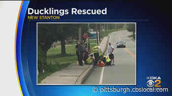 Firefighters Rescue Ducklings From Storm Drain In New Stanton