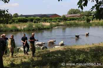 Koeien breken uit wei op zoek naar drinkwater en gaan pootjebaden