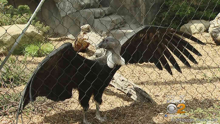 National Aviary: Andean Condor Pair's Egg Stops Developing
