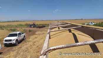 Productores de granos en Huatabampo ven con buenos ojos cosecha de 6 toneladas por hectárea - TRIBUNA