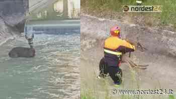 Aviano. Capriolo cade nel canale, salvato dai Vigili del Fuoco - Nordest24.it