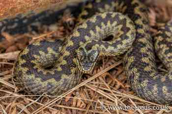 Dog-walkers warned over adders at South Downs National Park