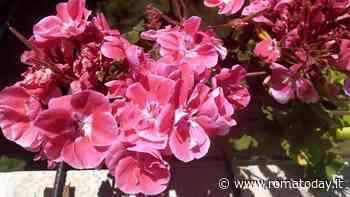 Piante antizanzare, le più efficaci da balcone e giardino