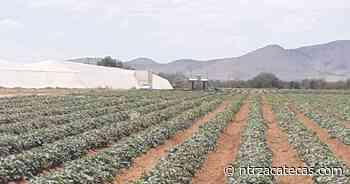 Destaca Fresnillo como exportador de legumbres - NTR Zacatecas .com