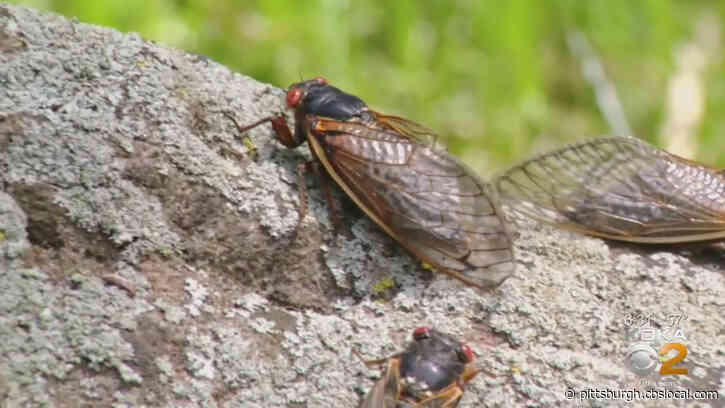 After 17 Years Underground, Cicadas Will Return To Swarm Parts Of The U.S. This Year