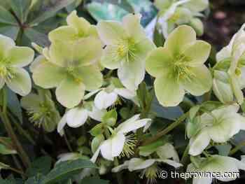 Tips for handling hellebore seedlings