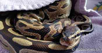 Two-foot ball python rescued after being dumped in Surrey park