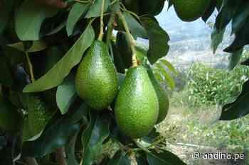 Huancavelica: la palta orgánica logra nuevos mercados en tiempos de coronavirus - Agencia Andina