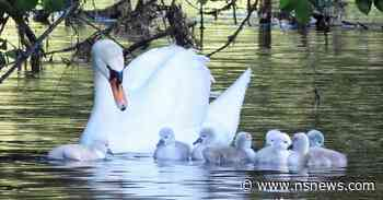 Cygnets and swans crowd West Vancouver pond - North Shore News