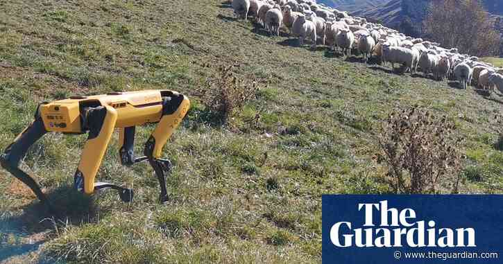 How a robotic dog is herding sheep in New Zealand – video