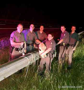Troopers Manage To Lasso Cow Running Wild On NY State Thruway - Daily Voice
