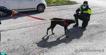 Tolentino, ribalta nazionale per la Polizia Locale dopo aver salvato cucciolo di dobermann - Picchio News
