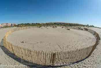 LE CAP D'AGDE - Les grands moyens pour sauvegarder un oiseau rare nichant sur la plage - Hérault-Tribune