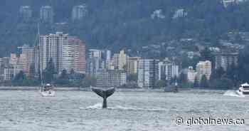 Humpback whale sighted at mouth of Vancouver's inner harbour