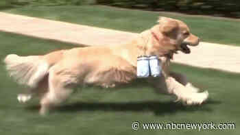 Delivery Dogs: Golden Retrievers Help Deliver Beer, Joy on Long Island