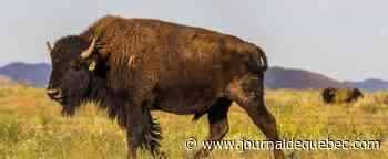 Parc national de Yellowstone: une femme attaquée par un bison