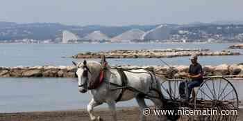 """VIDEO. """"Écologique et pédagogique"""", comment des chevaux ont enlevé des tonnes de bois des plages de Saint-Laurent"""