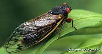 Over a million cicadas will return to swarm parts of the US this summer