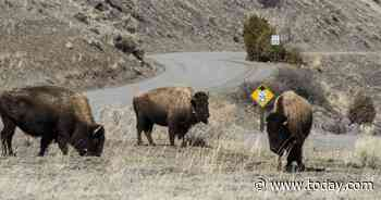 Woman attacked by bison at reopened Yellowstone National Park