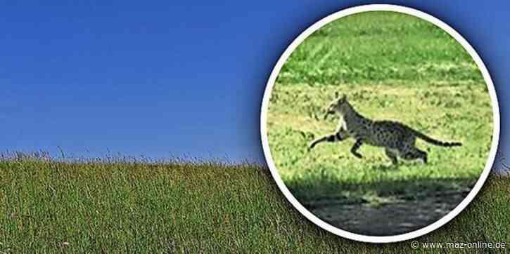 Doch keine Wildkatze - Entwarnung: Entlaufenes Tier in Waltersdorf war doch keine Raubkatze - Märkische Allgemeine